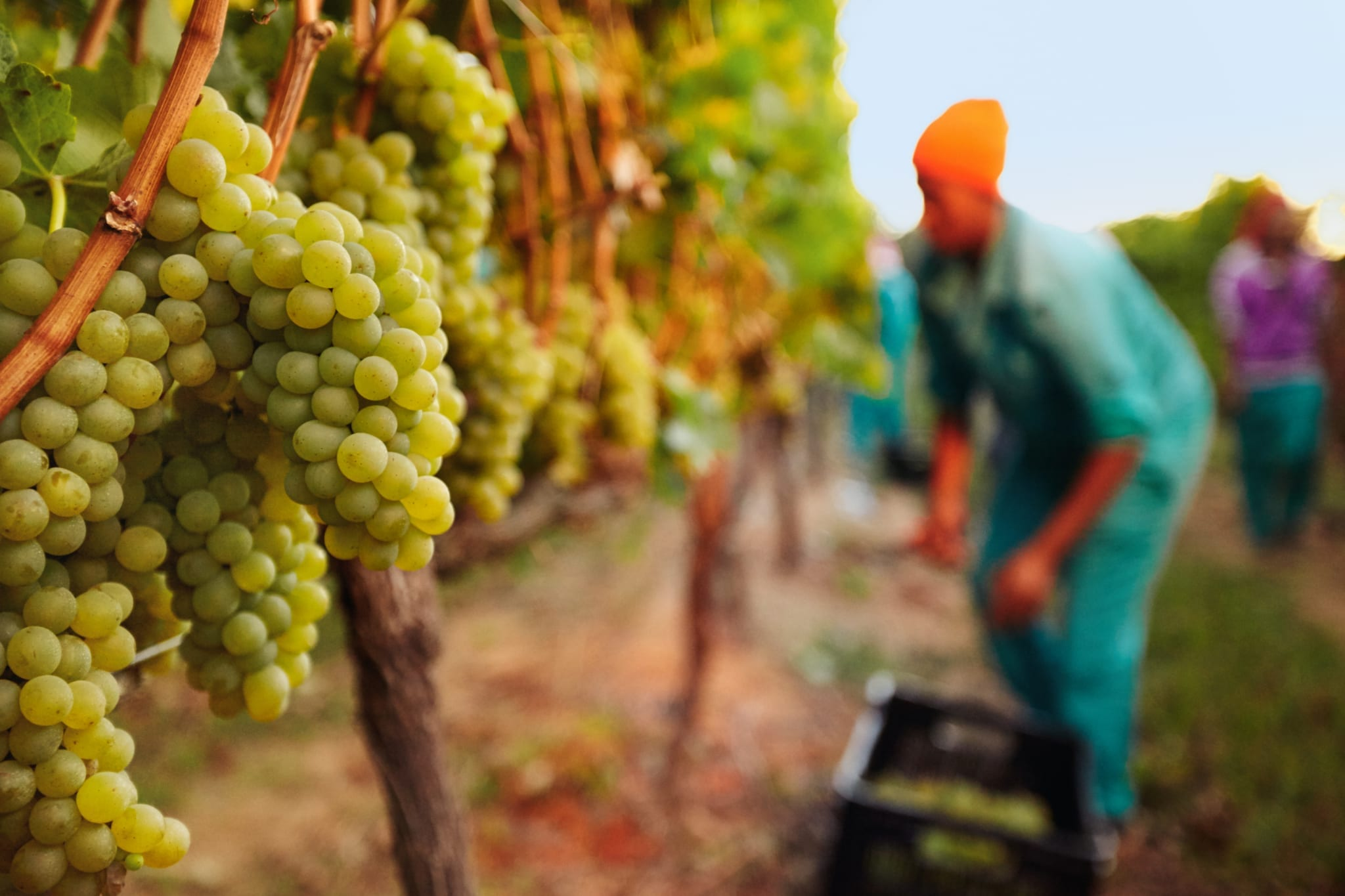 Bunch of grapes on vines at vineyard with grape picker working in background.